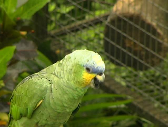 Header of Amazona amazonica