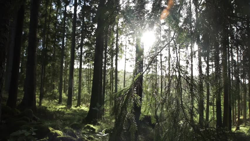 Sun rays through branches in forest  #17924869