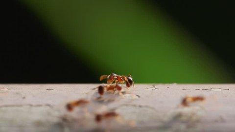Line of Ants (Pristomyrmex punctatus)