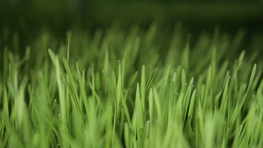 Wheat grass | Shutterstock HD Video #18008767