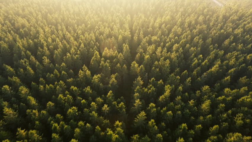 Dronefootge above forest in Jutland, Denmark