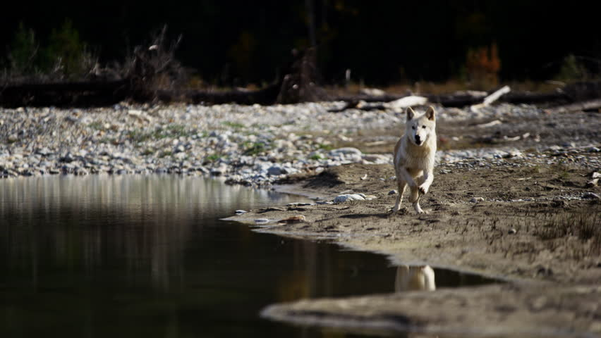 Wild grey wolf crossing a river outdoor on National Reserve | Shutterstock HD Video #18151807