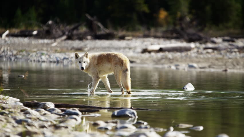 Wild grey wolf crossing a river outdoor on National Reserve | Shutterstock HD Video #18151972