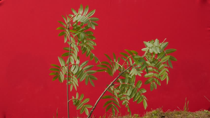 Green Young Branch Lit by Sun, Narrow Leaves, Plant on a Chroma Key, Alpha, Red Screen, Young Tree Grows Among Green Grass, Fresh Green Leaves Thin Branch is Fluttering at the Wind, Breeze in Sunny