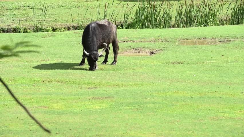 Header of American Buffalo