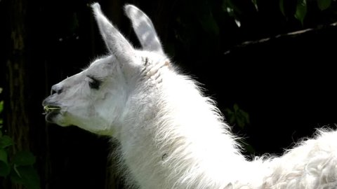Beautiful Animals: White Llama Chewing Grass Closeup. the Action in Slow Motion.