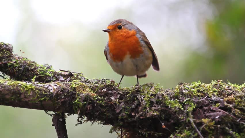 robin on a branch with moss