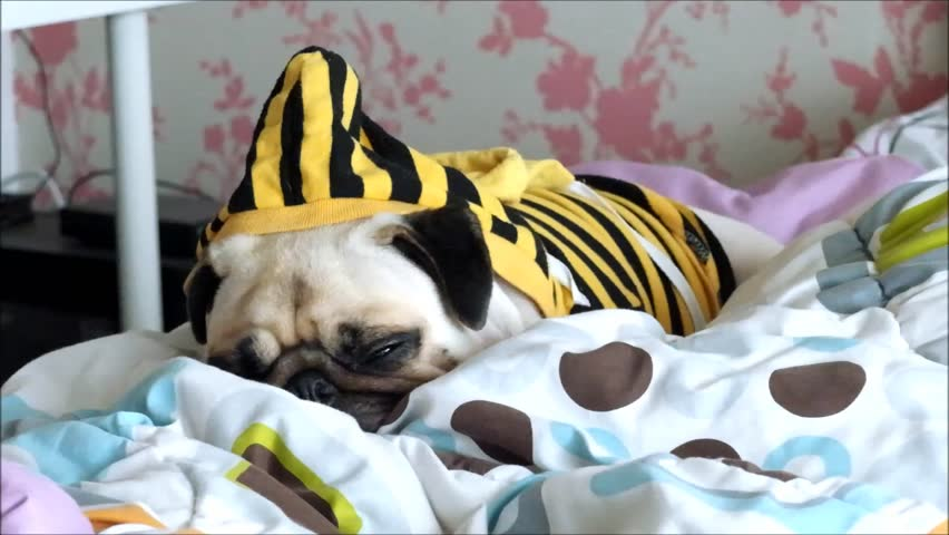 A little pug dog sleep resting on a bed in the bedroom of the house with blanket | Shutterstock HD Video #18211501