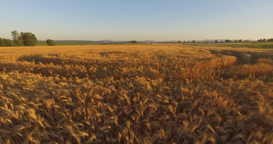 Morning corn field / drone shot 4K 4096x2160 | Shutterstock HD Video #18289405