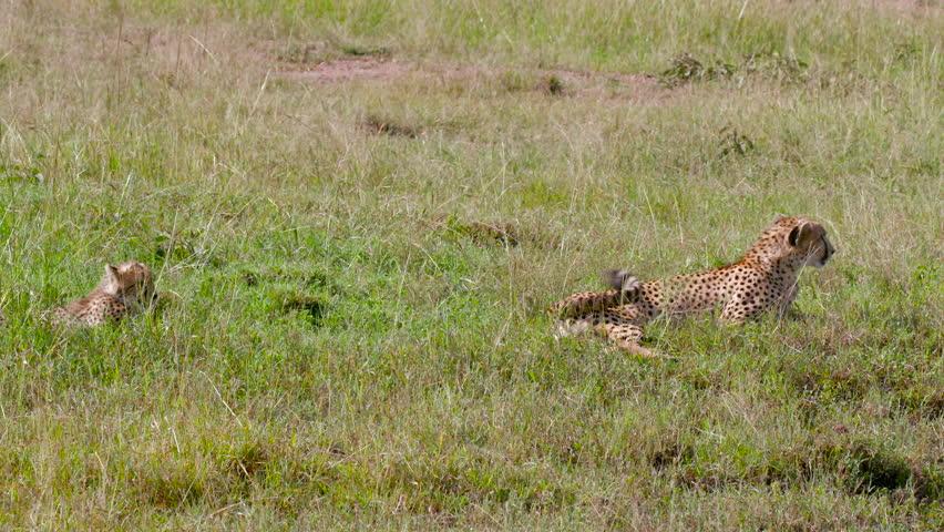 Female Cheetah & Cub Sat In Long Grass; Maasai Mara Kenya Africa #18332392