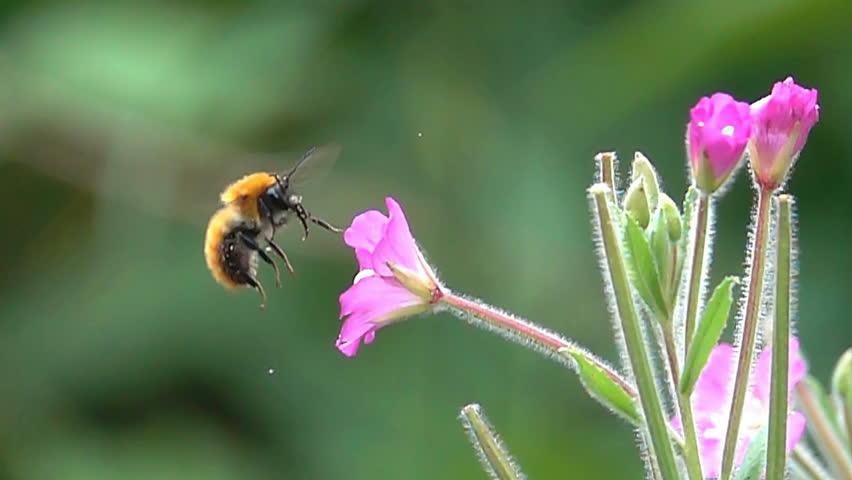 Bee bumblebee flying and flower