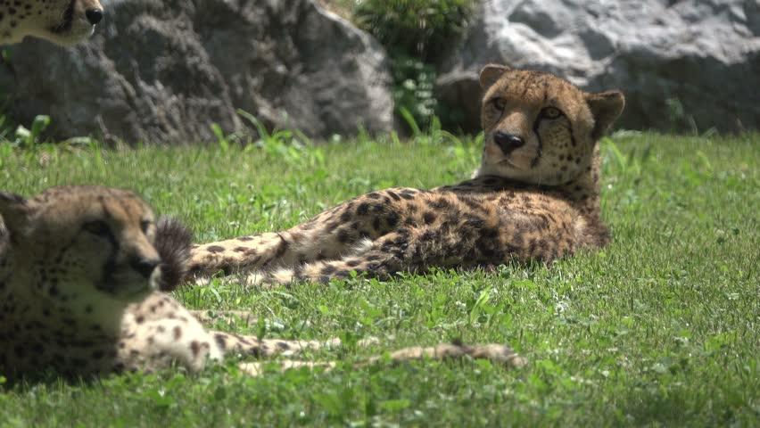 Cheeta Relaxing in the Grass | Shutterstock HD Video #18337948