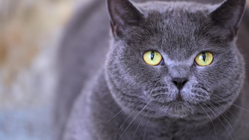Closeup view of british shorthair grey cat with beautiful green eyes looking in the camera and hissing. | Shutterstock HD Video #18338188