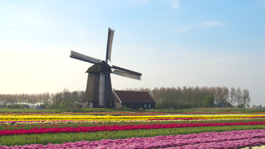 AERIAL, CLOSE UP: Flying next to beautiful colorful rows of flowering tulips on big floricultural farmland in front of traditional antique wooden windmill at Keukenhof gardens, Amsterdam, Netherlands Royalty-Free Stock Footage #18401227