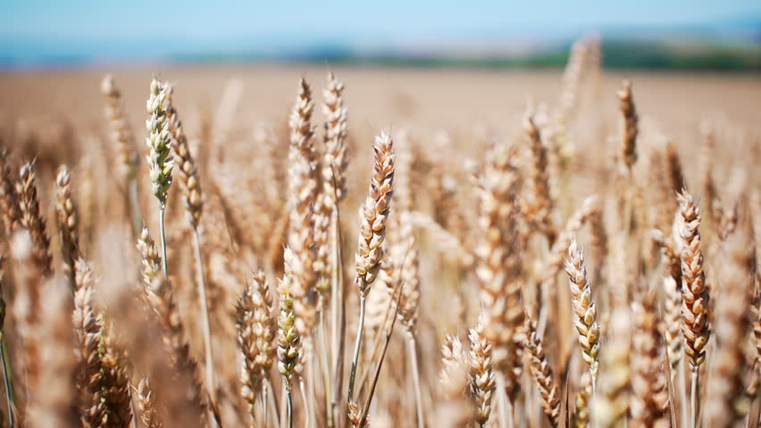 Golden wheat field perfect slow motion shot / Plants dancing in the wind - with shallow depth of field