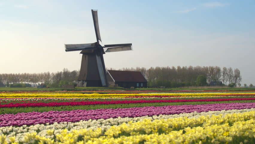 AERIAL, CLOSE UP: Flying next to beautiful colorful rows of flowering tulips on big floricultural farmland in front of traditional antique wooden windmill at Keukenhof gardens, Amsterdam, Netherlands Royalty-Free Stock Footage #18407176