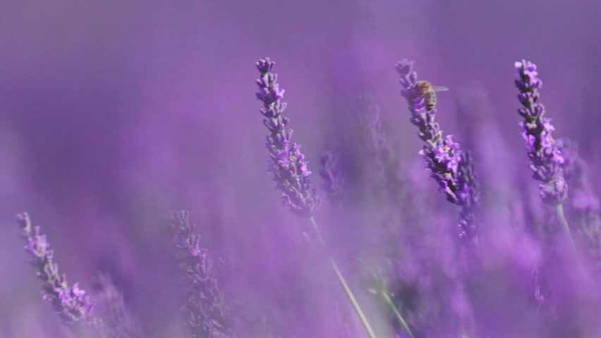 Beautiful Blooming Lavender Flowers swaying in the wind. Close Up. SLOW MOTION 120 fps. Lavender Season on Plateau du Valensole, Provence, South France, Europe. Calm Cinematic Nature Background.   Shutterstock HD Video #18446176