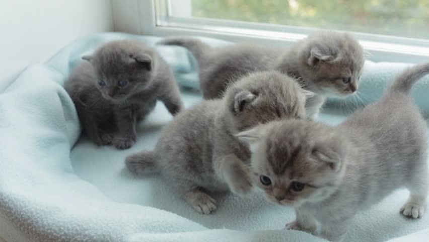 Funny Blotched tabby kittens breed Scottish Fold. #18462898