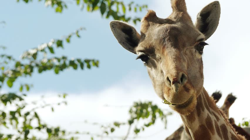 The giraffe (Giraffa camelopardalis) is an African even-toed ungulate mammal, the tallest living terrestrial animal and the largest ruminant. It is classified under the family Giraffidae. | Shutterstock HD Video #18490129
