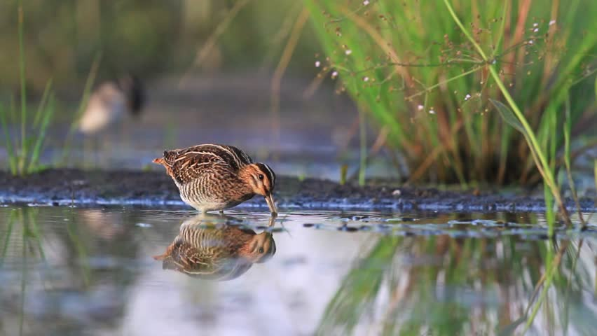 Snipe looking for food, bird hunting
