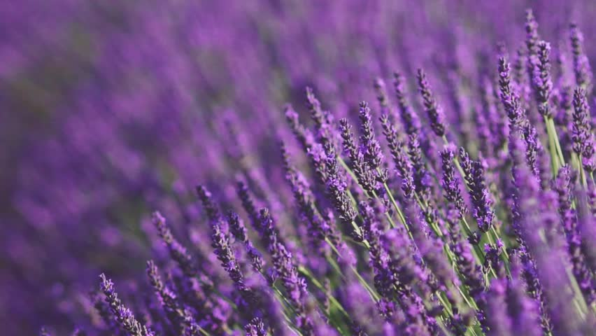 Beautiful Blooming Lavender Flowers swaying in the wind. Close Up. SLOW MOTION 120 fps. Lavender Season on Plateau du Valensole, Provence, South France, Europe. Calm Cinematic Nature Background.   Shutterstock HD Video #18547664