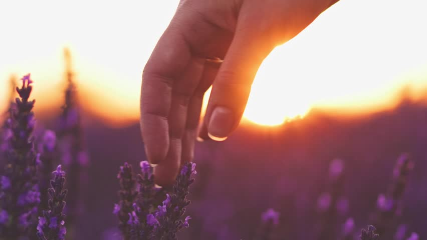 Close-up of woman's hand running through sunny lavender field. SLOW MOTION 120 fps. Girl's hand touching purple lavender flowers closeup. Plateau Valensole, Provence, South France, Europe. Lens Flare   Shutterstock HD Video #18570518