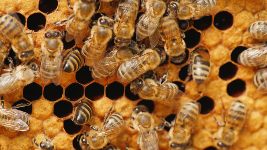 Many bees working on honeycombs with honey. Healthy  food