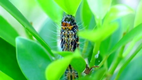 caterpillar eating leaves - close up