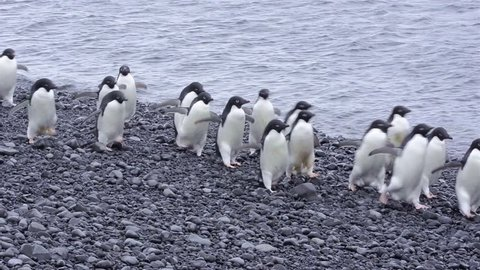 Adelie Penguins walking down the beach at Brown Bluff in Antarctica. (Brown Bluff, Antarctica 2010s)