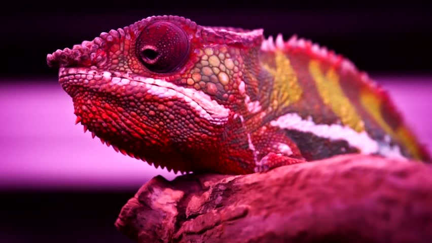 Chameleon sitting on a branch in the cage and turns the eye | Shutterstock HD Video #1867258