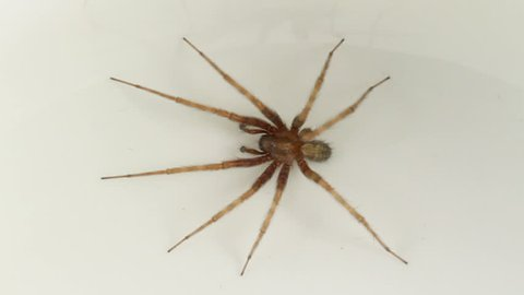Male Tegenaria domestica (Common House-spider) on a neutral white background. The spider is part of the family Agelenidae - Araneomorph funnel-web spiders, or Funnel weavers.