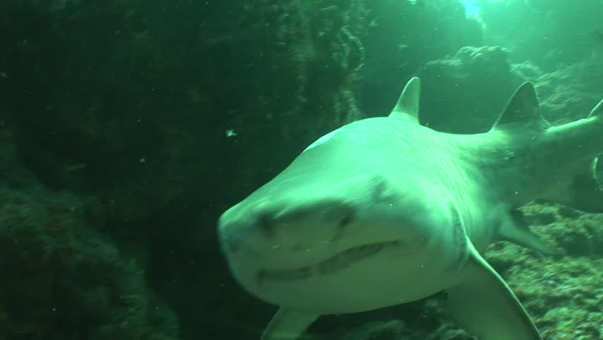 Dangerous Bull Shark (Carcharhinus leucas) Underwater Video