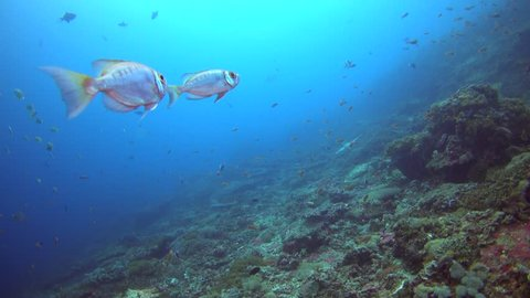 Crescent-tail bigeye (Priacanthus hamrur) hovering on top of coral reef