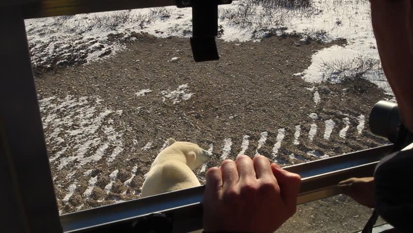 Handheld shot of polar bear over tourist shoulders through buggy windows - MVI 0023