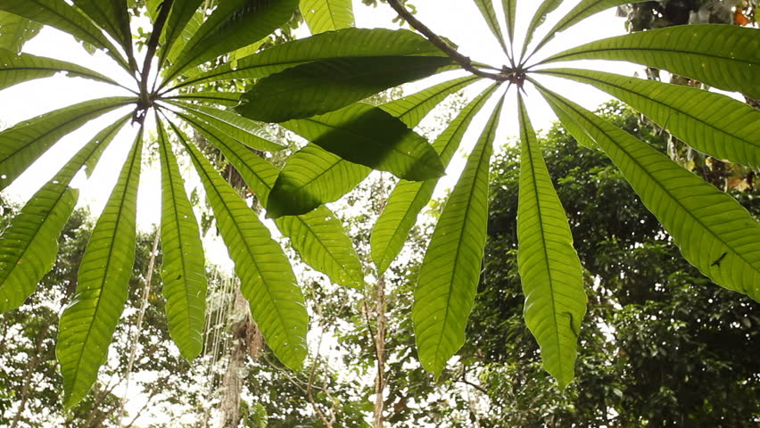 Backlit Leaves Of A Sheffleria Tree In The Rainforest Canopy. In Tropical Rainforest Ecuador During A Shower Of Rain. Stock Footage Video 1894420 | ... & Backlit Leaves Of A Sheffleria Tree In The Rainforest Canopy. In ...
