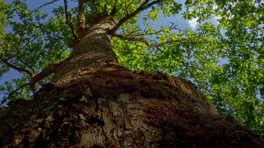 Time lapse footage. Panoramic view of Oak tree trunk against the blue sky. Dolly slider high dynamic range video. | Shutterstock HD Video #19021075
