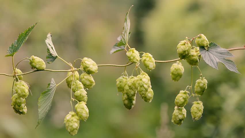 Hops (Humulus lupulus) flowers on vine. Green pendulous flowers on climbing plant in the family Cannabaceae, moving in breeze