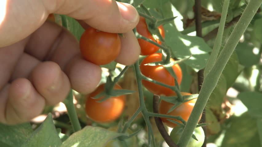 Slow motion of hand coming in to pick a delicious ripe cherry tomato in home garden. | Shutterstock HD Video #19070068