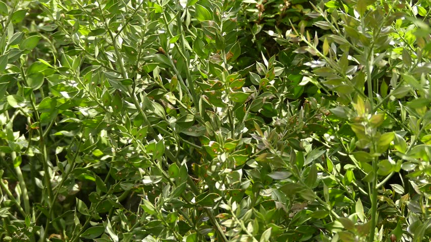 Ruscus aculeatus, known as butcher-broom, is a low evergreen Eurasian shrub, with flat shoots known as cladodes that give the appearance of stiff, spine-tipped leaves. | Shutterstock HD Video #19078876