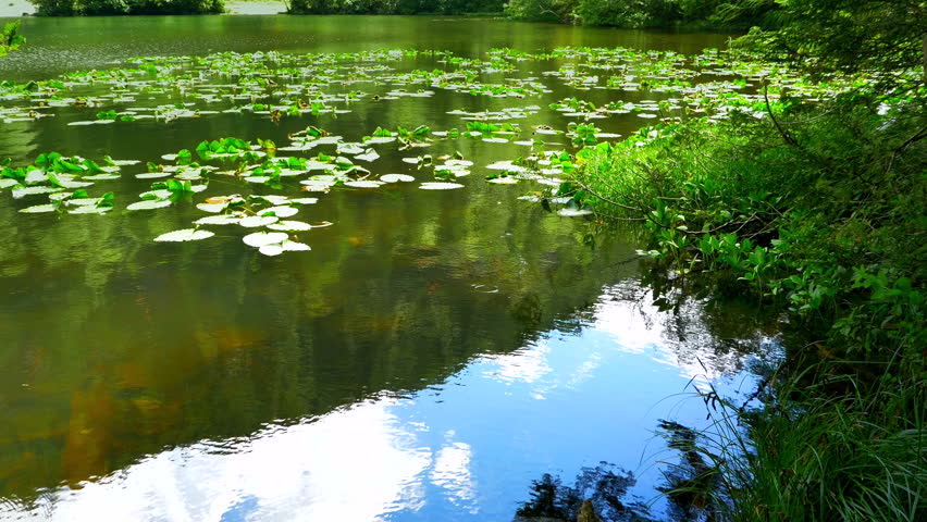 4K Lily Pads on Floating Pond Water, Blue Sky Reflection in Spring | Shutterstock HD Video #19084126