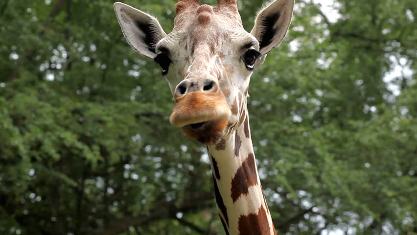 Beautiful Giraffe Close-Up, Giraffa Camelopardalis, The Tallest Animal, African