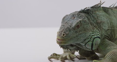 [Iguana on white background]Iguana on white background