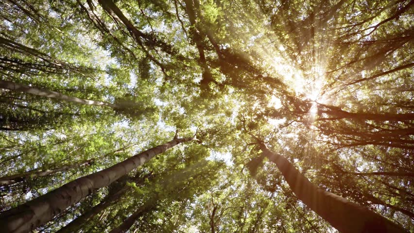 Bright rays of hazy sunshine illuminate bright green leaves as they filter through the canopy and branches of the forest. Video 4k | Shutterstock HD Video #19188649
