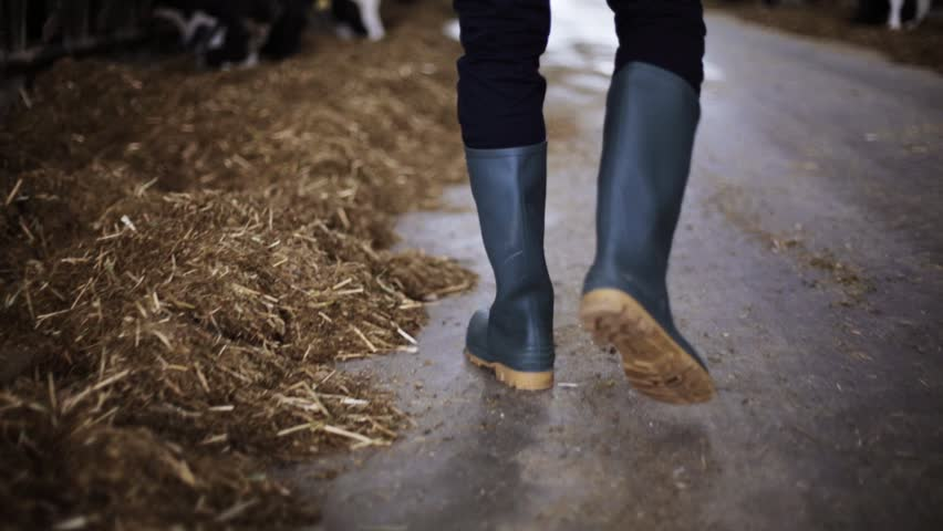 Agriculture industry, farming, people, footwear and animal husbandry concept - young man or farmer in gumboots walking along cowshed on dairy farm
