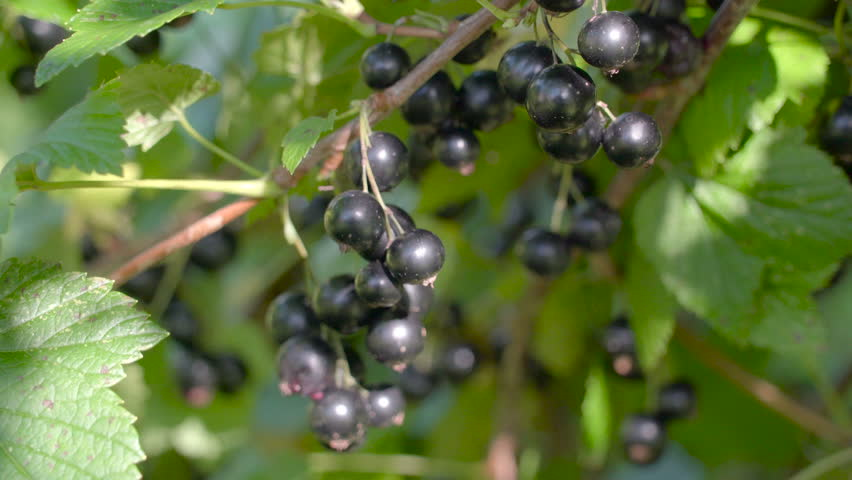 The Purple Berries Hanging On The Of The Blackcurrant Tree With