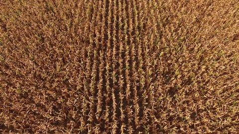 Aerial shot of ripe golden corn maize fields