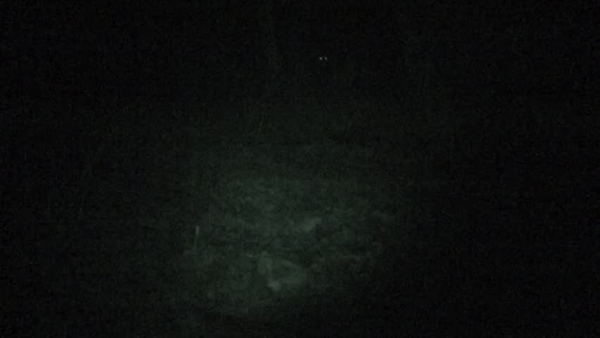 Mountain Lion Adult Immature Pair Feeding Scavenging Night Eye Shine Infrared. Black Hills, South Dakota, USA - 2015