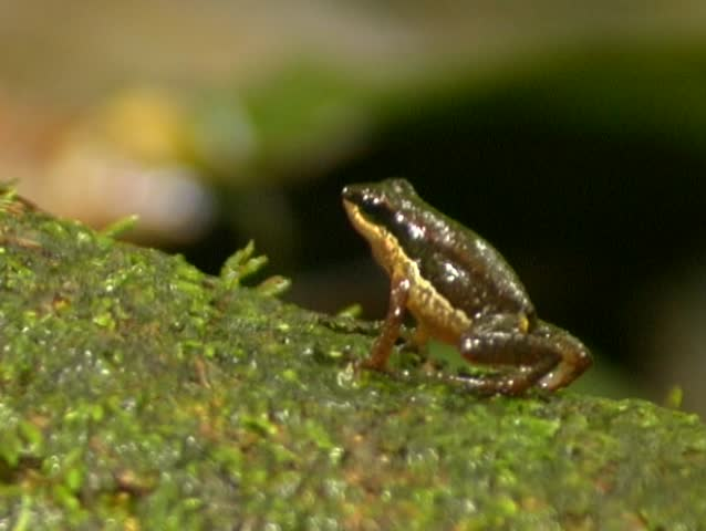 Header of Allobates insperatus