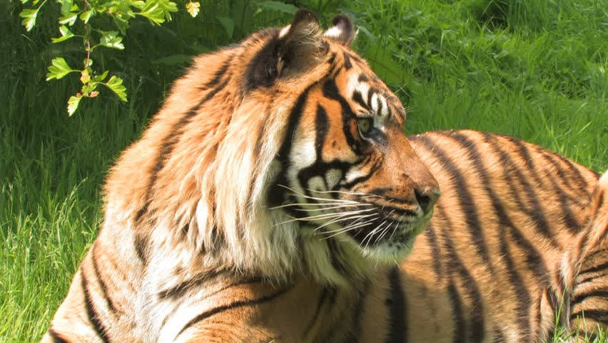 Sumatran TIGER Portrait Reclining Big Cat! Close up of majestic TIGER relaxing in long grass, observing his surroundings  #19644757