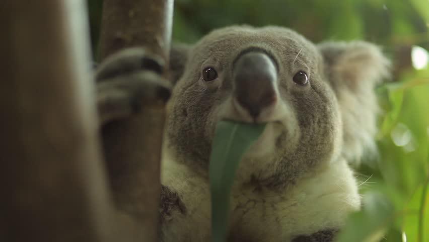 Koala bear on tree branch and hewing Eucalyptus leaves.